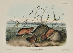Audubon, John James (1785-1851) Columbia Pouched Rat,   Plate CV.