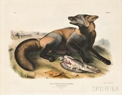 Audubon, John James (1785-1851) American Cross Fox,   Plate VI.