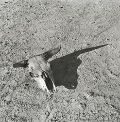 Arthur Rothstein (American, 1915-1985)      The Bleached Skull of a Steer, South Dakota Badlands