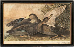 Audubon, John James (1785-1851) Dusky Duck.