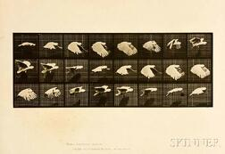 Eadweard Muybridge (British, 1830-1904)      Plate 759 (Flying Cockatoo), from Animal Locomotion