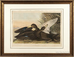 Audubon, John James (1785-1851) Dusky Duck  , Plate 386.