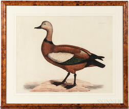 Selby, Prideaux John (1788-1867) Two Hand-colored Etchings: Ruddy Duck and Common Shell-Drake.