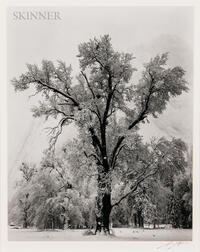 Ansel Adams (American, 1902-1984)      Oak Tree, Snowstorm, Yosemite National Park, California