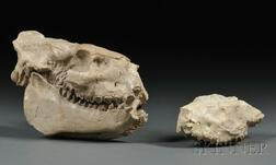 Two Jaw Fossils